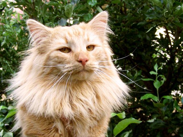 Hodowla Kotów Norweskich Leśnych White Kotapl